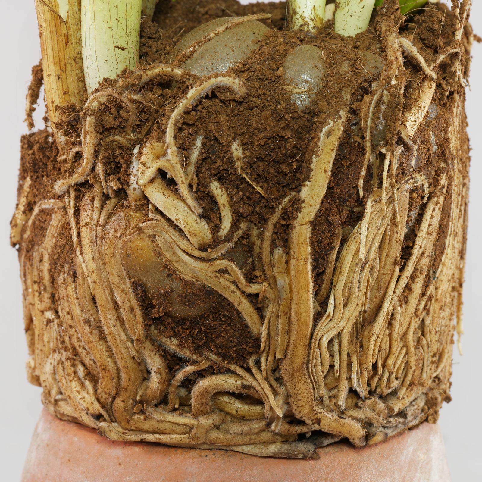 Zamioculcas-Wurzeln