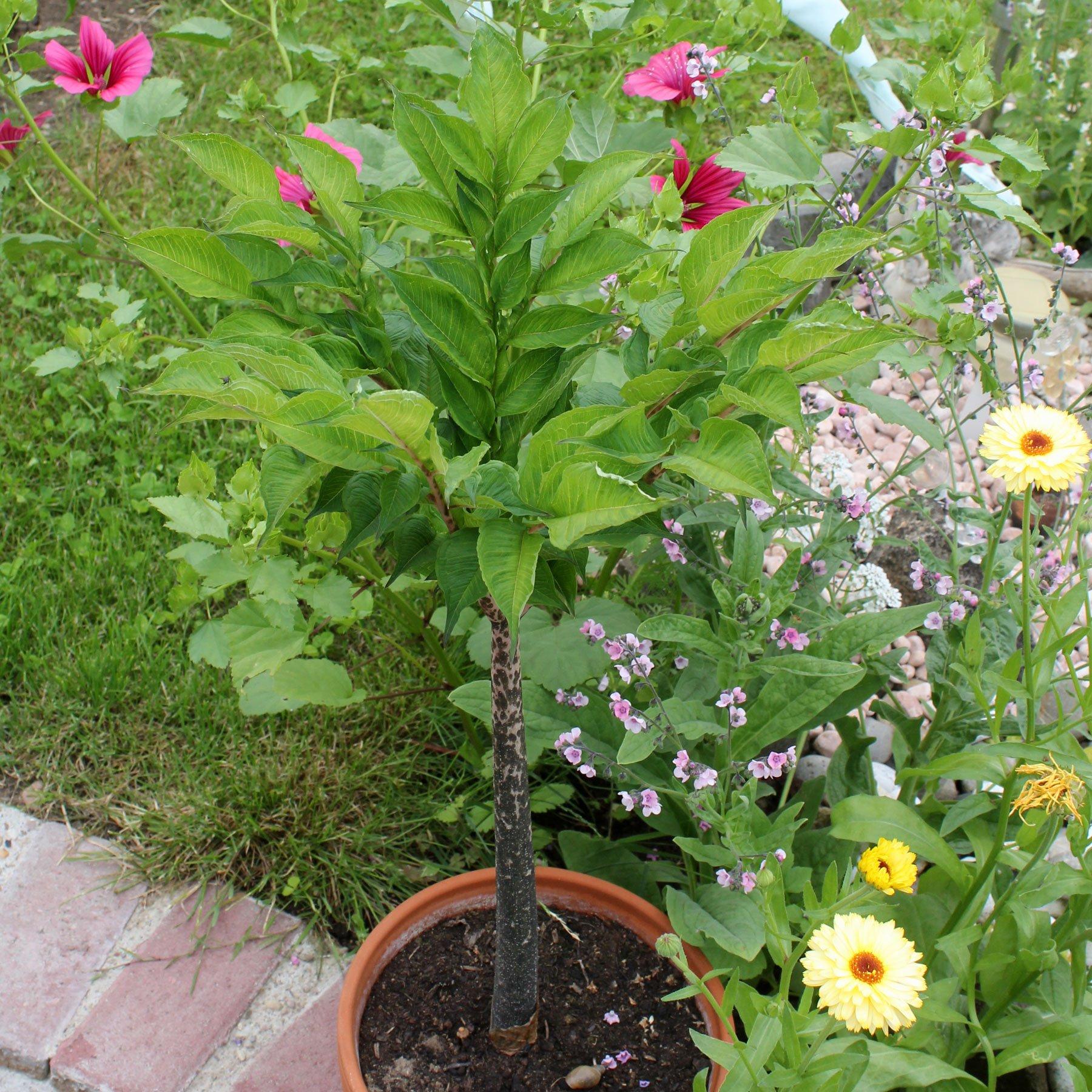 Konjakpflanze
